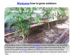 marijuana how to grow outdoors