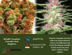 Find Best Canadian Cannabis Seed Supplier