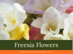 Freesia flowers - most fragrant flower in the world